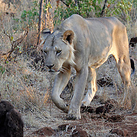 Africa, Kenya, Meru. Hungy male lion.