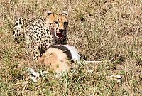 A Cheetah, Acinonyx jubatus jubatus, eats a Thomson's Gazelle, Eudorcas thomsonii, that it has killed in Serengeti National Park, Tanzania