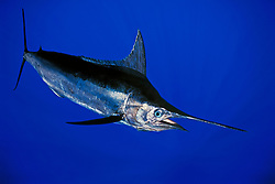 Indo-Pacific blue marlin, Makaira mazara (formerly Makaira nigricans but still under debate), Kona Coast, Big Island, Hawaii, USA, Pacific Ocean, digital composite