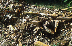 Palm leaves decaying on compost heap in organic allotment in Havana; Cuba,