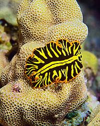 zebra flatworm, Pseudoceros zebra, Kona, Big Island, Hawaii, Pacific Ocean