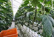 Nederland, Bleiswijk, 12-2-2020 In de kassen van de WUR, wageningen universiteit, was een informatieve bijeenkomst met rondleiding voor de glastuinbouw. De nadruk op het LichtEvent 2020 lag op de toepassing van moderne glassoorten en LED belichting . In de kassen doet de voormalige landbouw universiteit onderzoek om een optimale teelt van bloemen, planten , groente en fruit te bereiken . Foto: ANP/ Hollandse Hoogte/ Flip Franssen