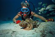 diver and spotted scorpionfish,<br /> Scorpaena plumieri, <br /> Islamorada, Florida Keys ( Western Atlantic Ocean )<br /> Florida Keys National Marine Sanctuary, MR 112