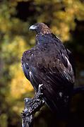 Golden Eagle Aquila chrysaetos, Colorado, foothills near Denver, hunts mammals and birds from the air, bird of prey, found mountainous areas, talons, beak bill, wings.