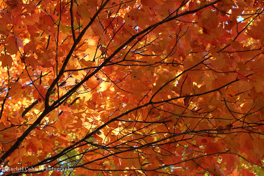 """""""Golden Canopy""""<br /> <br /> Enjoy this lovely golden autumn image of a wonderful branch on a maple tree. Maple leaves in hues of gold, orange, red, and yellow with sunlight streaming though give you that warm autumn feel!!<br /> <br /> Fall Foliage by Rachel Cohen"""