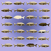 Digitally enhanced image of 28 color variations of a sea fish