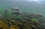 Lake Trout (with Lake Whitefish)<br />