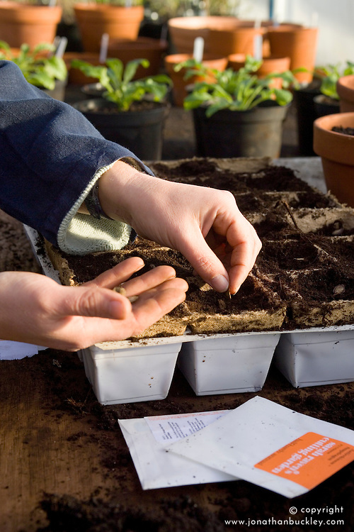 Spring sowing of half hardy annuals into coir pots  - Cobaea scandens