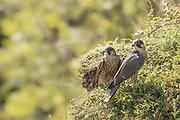 Peregrine (Falco peregrinus) juvenile siblings. Sussex, UK.