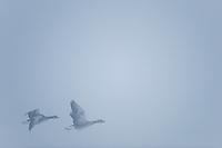 Graylag Goose, Anser anser, Lake Tysslingen, Sweden. March 2009. Mission: Sweden (crane and swan)