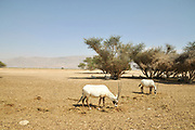 A breeding herd of Arabian Oryx (Oryx leucoryx) (AKA White Oryx) Photographed at The Yotvata Hai-Bar Nature Reserve breeding and reacclimation centre, Aravah, Israel