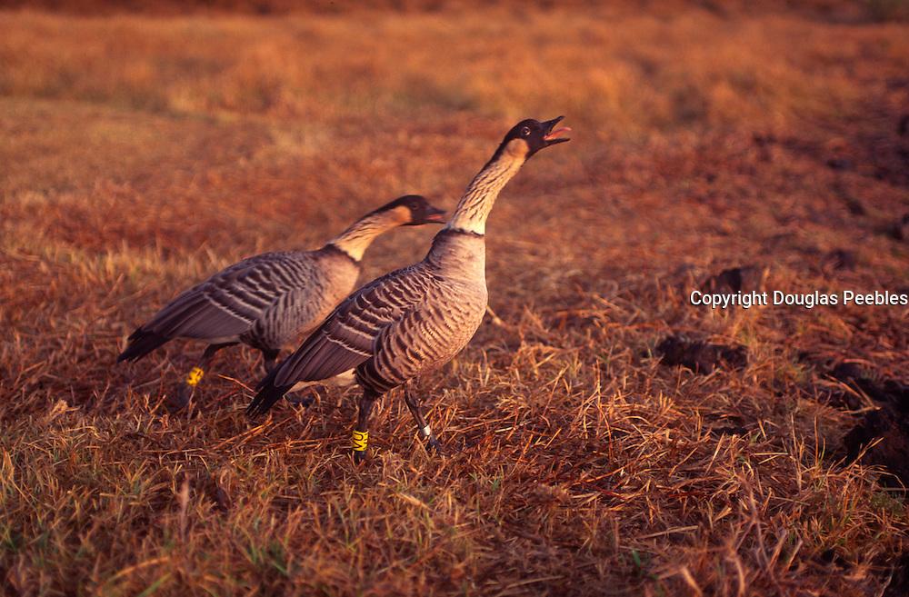 Nene Geese, Hawaii<br />