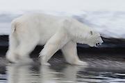 Motion-blur of a male polar bear (Ursus maritimus) walking in deep snow steps down to walk on rocky beach, Svalbard, Norway, Arctic