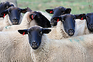 Black faced sheep.<br /> <br /> Larger JPEG + TIFF images available by contacting use through our contact page at : www.effectiveworkingimage.com