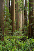 The Stout Memorial Grove is located in a remote section of California's Jedediah Smith Redwood State Park.