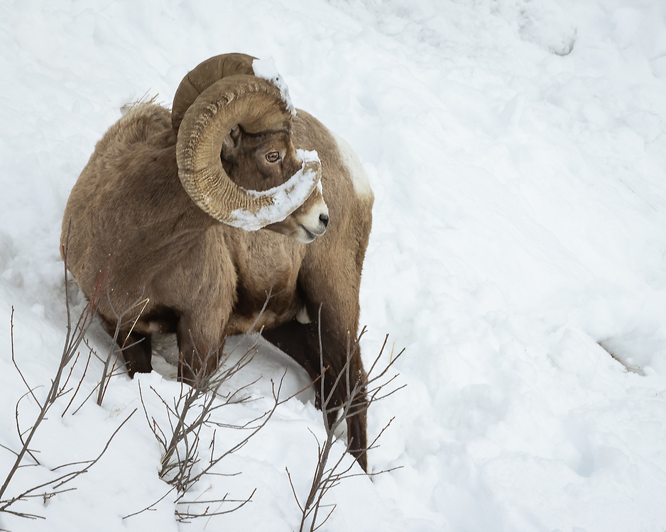 Ovis canadensis, Yellowstone National Park, February 2021