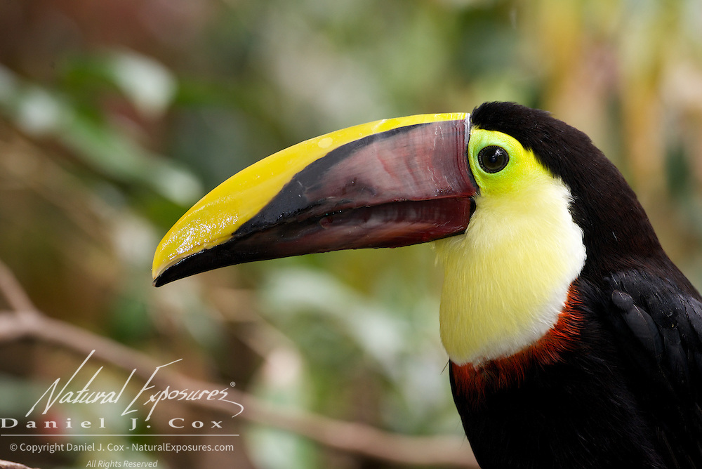 Chestnut-mandibled Toucan also known as  Swainson's Toucan, Costa Rica, (Captive)