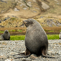 Antarctic fur seals on the rocky shoreline at the former whaling station in Stromness on South Georgia Island.
