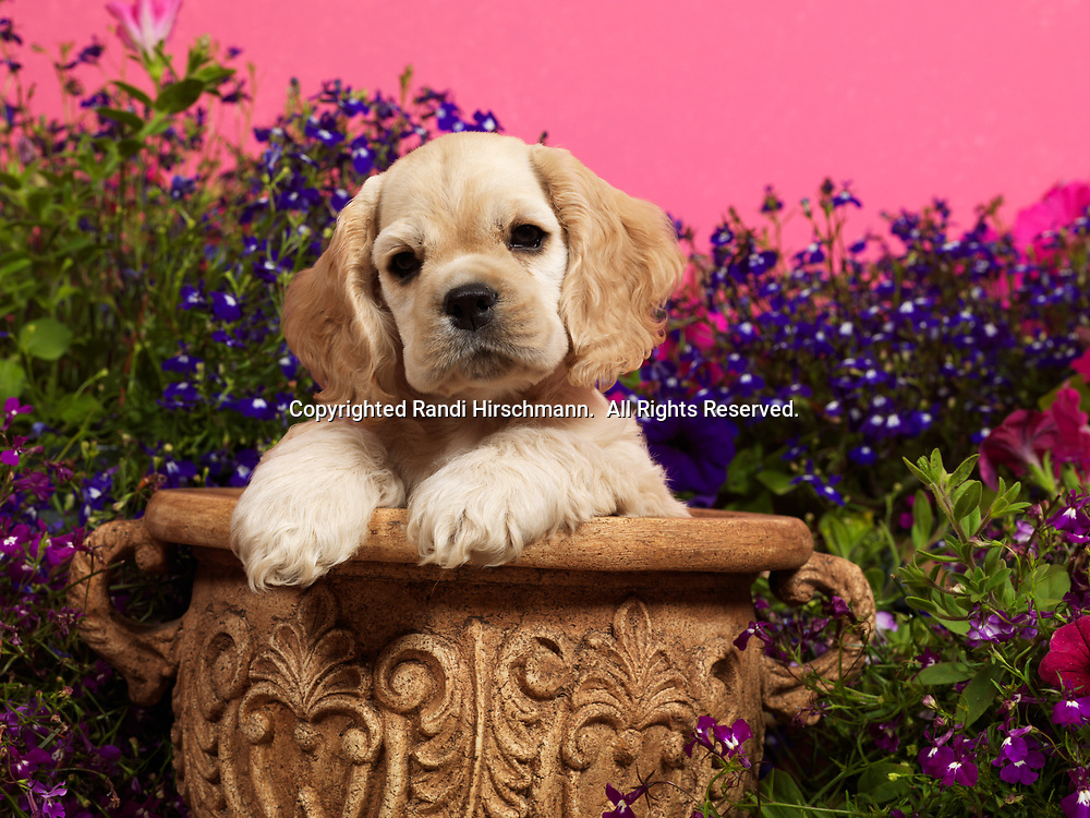 American Cocker Spaniels, AKC,  4-week-old puppy photographed at Randi's studio and owned by Linda Cordle of Palmer, Alaska.  (PR)