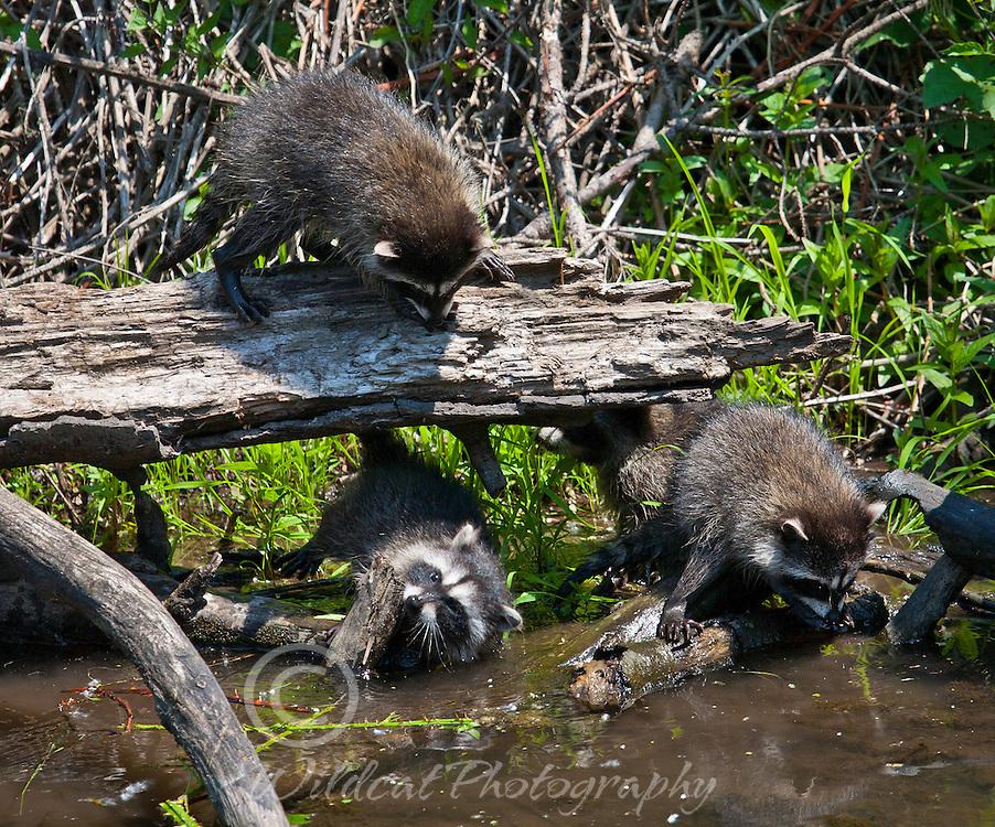 Raccoons at play