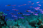 creole wrasses, Clepticus parrae, <br /> Lighthouse Reef, Belize, Central America<br /> ( Caribbean Sea )