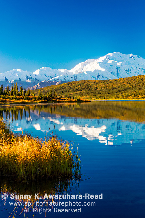 Mt. Denali (McKinley) reflects on Wonder Lake with fall color tundra, under blue sky,  Denali National Park & Preserve, Interior Alaska, Autumn. Vertical image.