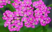 Close-up of the bright pink flowers of Achillea 'Pretty Belinda' growing in West Acre Gardens in Norfolk