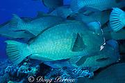 giant bumphead parrotfish, Bolbometopon muricatum,<br /> Layang Layang Atoll, Malaysia ( South China Sea )