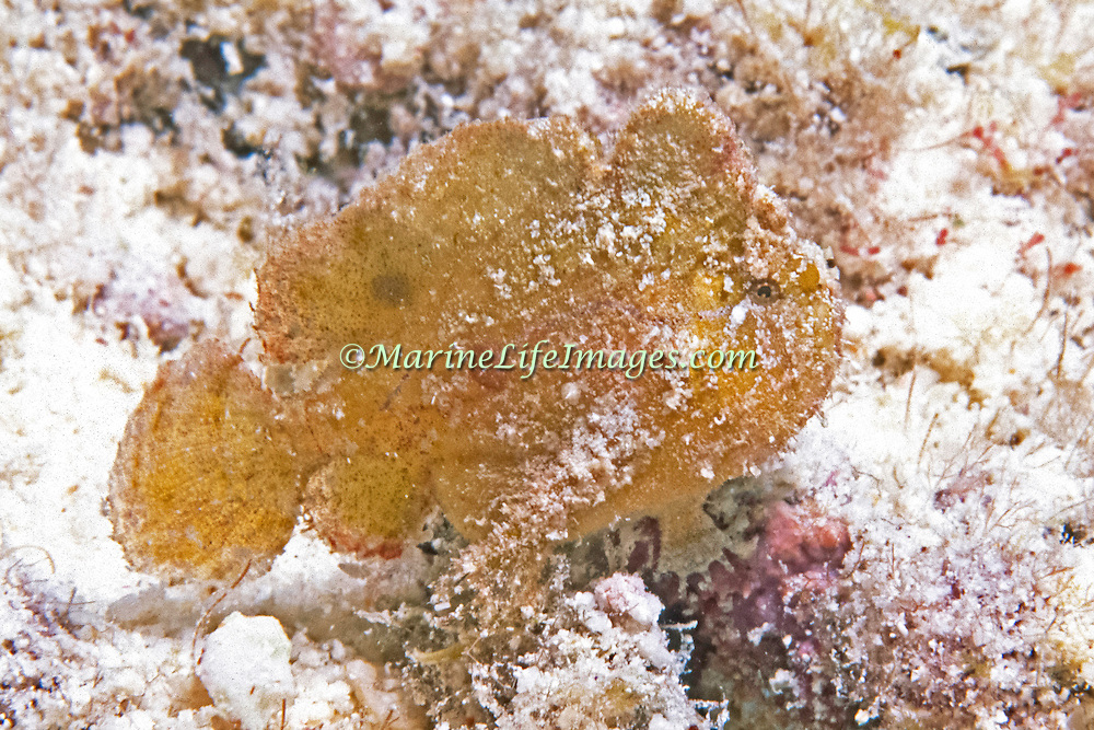 Dwarf Frogfish inhabit areas of sand and rocky rubble in Tropical West Atlantic; picture taken Los Roques, Venezuela
