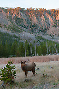 Cow elk with frost dusting during autumn morning sunrise, Yellowstone National Park, Wyoming.