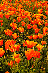 California wildflower travel: Poppies, California state flower, at Mt. Diablo State Park.Photo copyright Lee Foster.  Photo # cawild102215