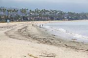 United States, California, Santa Barbara, California Fan Palms on the beach