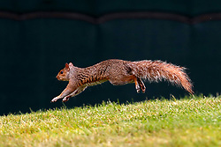 June 23, 2018 - Cromwell, CT, U.S. - CROMWELL, CT - JUNE 23: The squirrel on the first tee held up the tee shot of Rory McIlroy of Northern Ireland during the Third Round of the Travelers Championship on June 23, 2018, at TPC River Highlands in Cromwell, Connecticut. (Photo by Fred Kfoury III/Icon Sportswire) (Credit Image: © Fred Kfoury Iii/Icon SMI via ZUMA Press)
