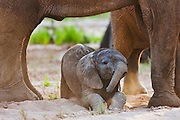 A desert-dwelling elephant calf (Loxodonta africana africana) laying in the sand beneath its mother, Skeleton Coast, Namibia,Africa
