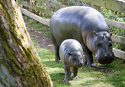 © licensed to London News Pictures. Braintree, UK.  07/06/2011. Sapo the pygmy hippo takes his first run around outside at Whipsnade Zoo in Dunstable, Bedfordshire today (07/06/2011).  The three month old calf is important for the conservation of this species worldwide. Pictured here with his mother Flora. Photo credit should read Ben Cawthra/LNP