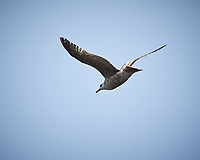 Herring Gull in flight. Carmel Beach, Pacific Coast Highway. Image taken with a Nikon D3 camera and 80-400 mm VR lens.