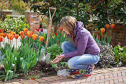 Planting summer flowering bulbs (gladioli) in a border in spring