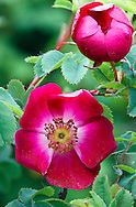 """Flowers of the species rose """"Mrs. Colville"""" from the Pimpinellifolia family (class Spinosissima) of roses"""