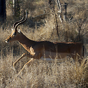 Impala, male running in Timbavati Private Game Reserve. South Africa.