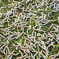 Asia, China, Suzhou. Slikworms and Mulberry leaves.