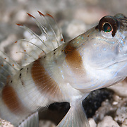 Red-margin shrimp goby opening its mouth for a brief moment. Amblyeleotris rubrimarginatus in Papua New Guinea