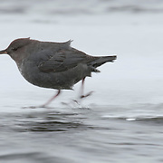 American Dipper (Cinclus mexicanus), also know as the water ouzel, in a river. Yellowstone National Park, Wyoming