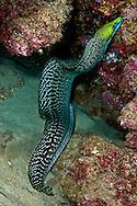 Undulated Moray, Gymnothorax undulatus, (Lacepède, 1803), Maui, Hawaii