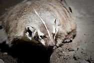 A Badger takes a break from digging being alert to danger.