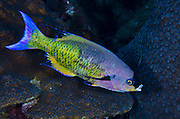 Creole Wrasse (Clepticus parrae)<br /> BONAIRE, Netherlands Antilles, Caribbean<br /> HABITAT & DISTRIBUTION: Deep outer reefs or drop-offs and open water.<br /> Florida, Bahamas, Caribbean, Gulf of Mexico, Bermuda and north to North Carolina.