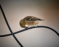 American Goldfinch. Image taken with a Nikon D5 camera and 600 mm f/4 VR lens (ISO 220, 600 mm, f/4, 1/640 sec).