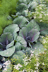 Cabbage 'Red Jewel' with coriander and fennel