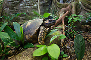 South American Yellow-footed Tortoise (Chelonoidis denticulata, formerly Geochelone denticulata)<br /> Yasuni National Park, Amazon Rainforest<br /> ECUADOR. South America<br /> RANGE & HABITAT: Found in drier forest areas, grasslands, and the savanna, or rainforest belts adjoining more open habitats of Bolivia, Brazil, Colombia, Ecuador, French Guiana, Guyana, Peru, Suriname, Trinidad and Tobago, and Venezuela.<br /> IUCN CONSERVATION STATUS: Endangered