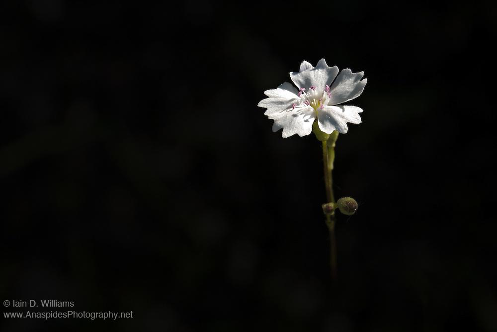 White Geranium - Tasmania