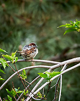 House Sparrow. Marriott Residence Inn, Boulder, Colorado. Image taken with a Nikon D200 camera and 18-200 mm lens.
